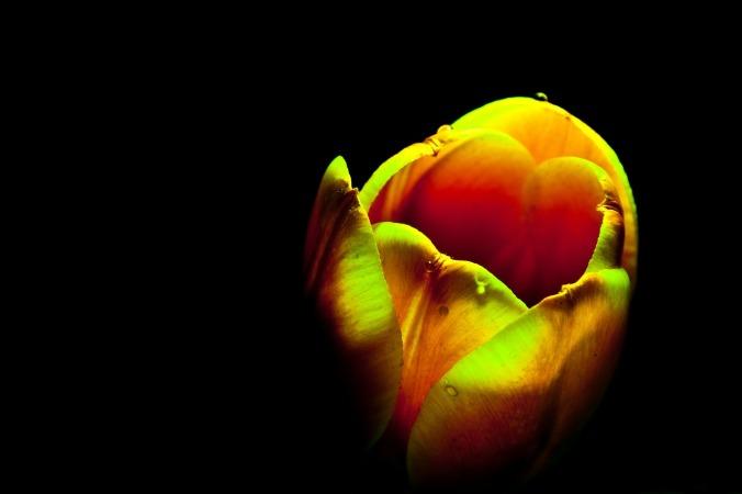 61 - The Tulip