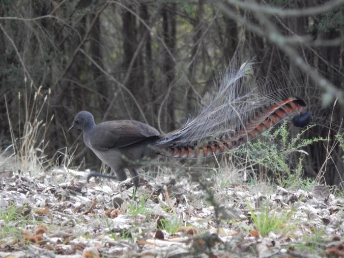 66 - Lyrebird